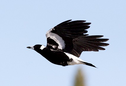 Magpie swooping season